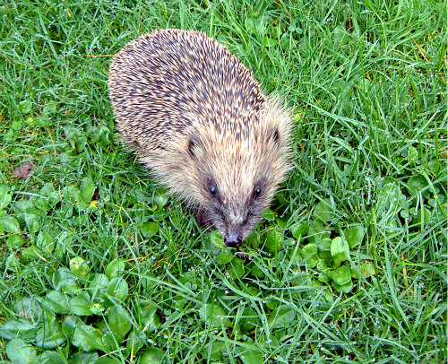 Hedgehogs As Pets: Hedgehogs need to be cared for responsibly