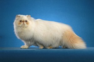 Himalayan cat: image via pictures-of-cats.org