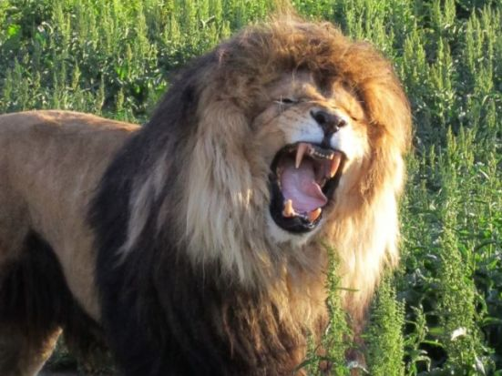 Arthur, an 11 year old lion at the Wildlife Anaimal Santuary in Keenesburg, CO