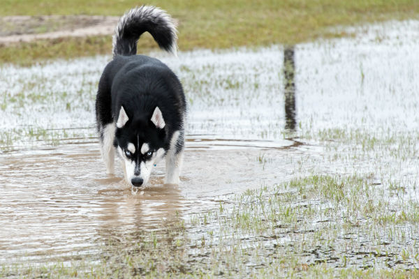 Husky drinking from puddle