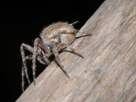 A tarantula-like spider species in India