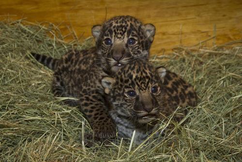 Jaguar Cubs born in San Diego Zoo on April 26, 2012: image via San Diego Zoo