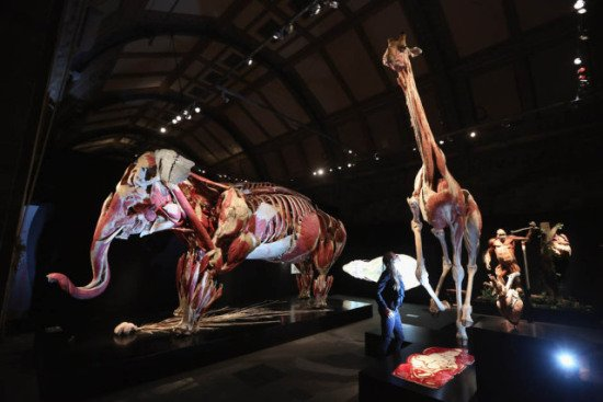Giraffe and elephant, plastinated: © Gunther von Hagens, Institute for Plastination, Germany