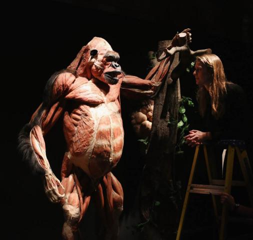Great ape, plastinated: © Gunther von Hagens, Institute for Plastination, Germany