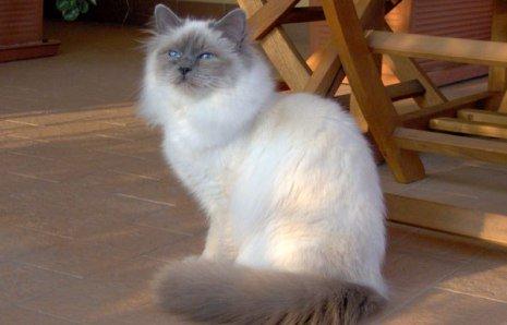 A Birman Cat (Photo by Claudia Zaino/Creative Commons via Wikimedia)