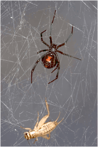 Southern black widow spider (Latrodectus mactans) with its prey house cricket (Acheta domesticus) trapped in spider web.