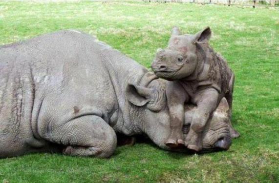 Mother and Baby Rhino (Image via imgur)