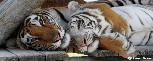 Tigers In A Zoo