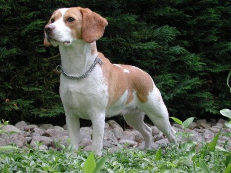 Beagle (Photo by Claude Valroff/Creative Commons via Wikimedia)