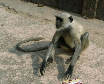 Langur Monkey (Photo by Yann/Creative Comons via Wikimedia)