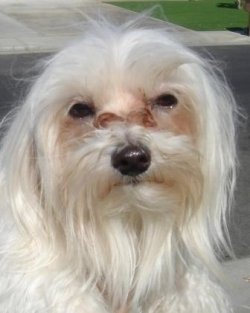 Tear-stained Maltese: image via squidoo.com
