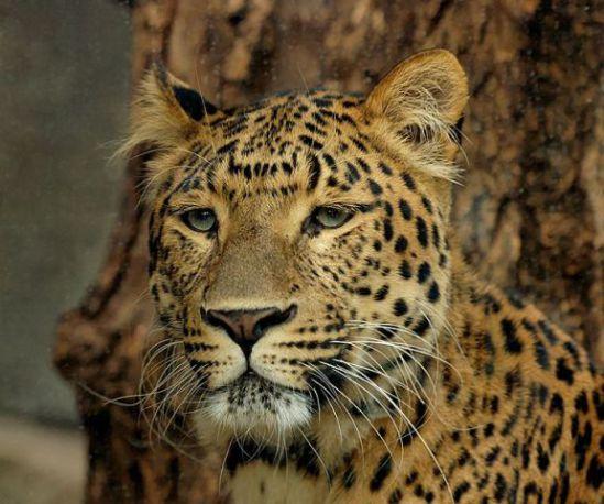 Leopard (Public Domain Photo)