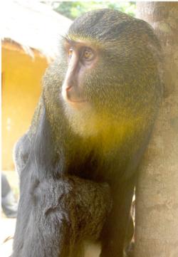 'Lesula' monkey: image via www.plosone.org