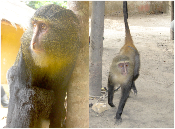 Photograph from Hart JA, Detwiler KM, Gilbert CC, Burrell AS, Fuller JL, et al. (2012) Lesula: A New Species of Cercopithecus Monkey Endemic to the Democratic Republic of Congo and Implications for Conservation of Congo's Central Basin. PLoS ONE 7(9): e44