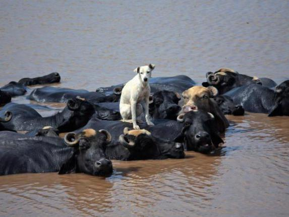 Dog with Water Buffalo (Image via Life with Dogs)