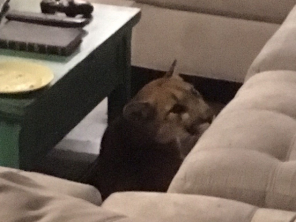 Mountain Lion Trapped in Boulder Home