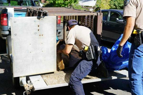 Mountain Lion Loaded into Transport Cage
