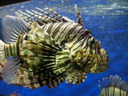Lionfish (Photo by Keith Schengili-Roberts/Creative Commons via Wikimedia)