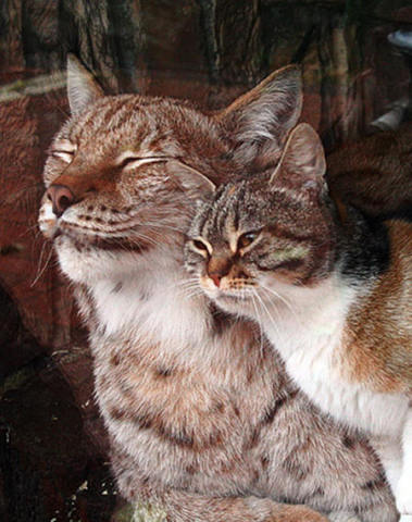 BFFs Dusya and Linda -- A Cat and a Lynx (Image via Imgur)