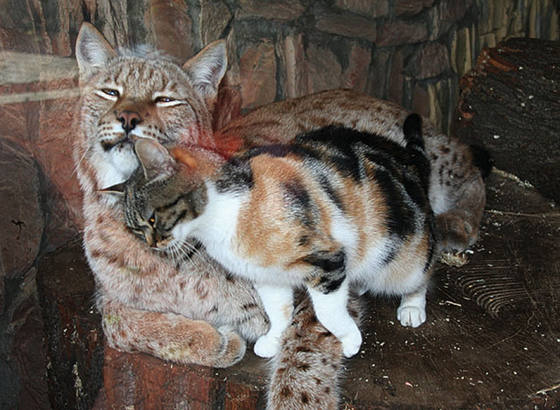 BFFs Dusya and Linda -- A Cat and a Lynx (Image via Imgur)