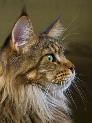 Maine Coon cat: image via mainecooncompanion.net