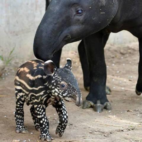A Malaysian Tapir and Her Calf (Photo via Jeff Corwin)