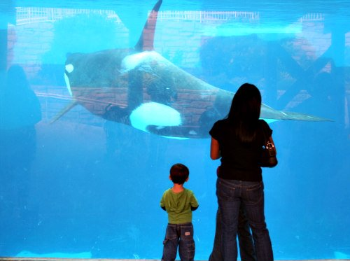 Humans & Marine Mammals Both Experience Dopamine: Killer whale on display at marine park