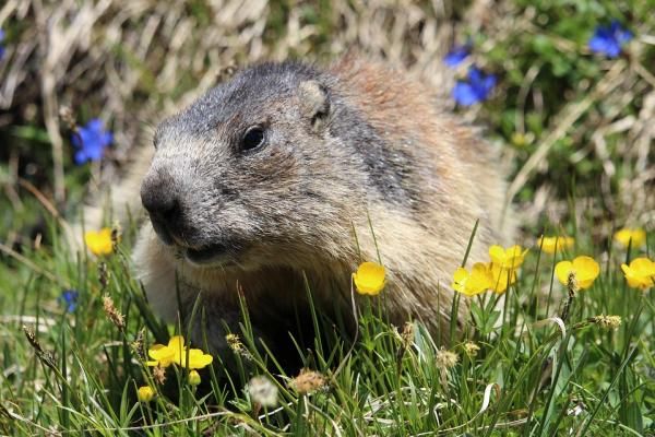 woodchuck with wildflowers
