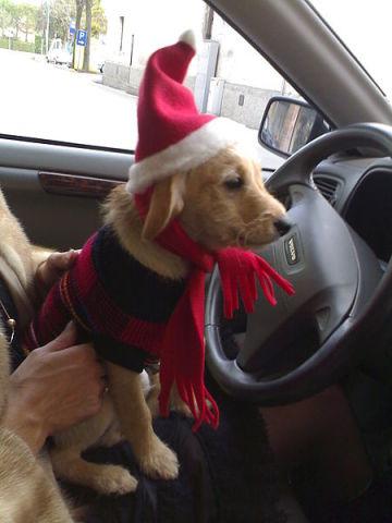 Dog Carried Away With Christmas (Photo by Maekia/Wikimedia)