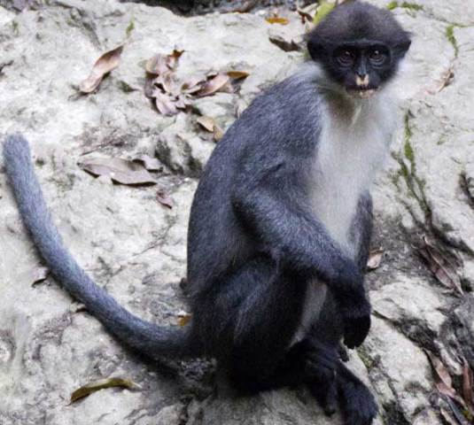 Miller's Grizzled Langur identified on southeastern tip of Borneo, Indonesia: © AP