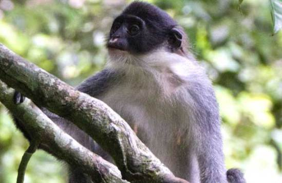 Miller's Grizzled Langur identified on southeastern tip of Borneo, Indonesia, in Wehea Forest: © AP via mirror.co.uk