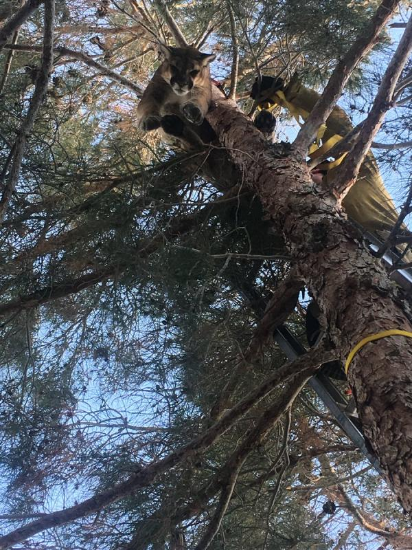 Firefighters Climb Tall, Tall Tree To Rescue Big, Big Cat