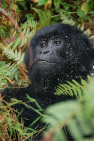Mountain Gorilla (Photo: Dylan Walters/Creative Commons via Wikimedia)