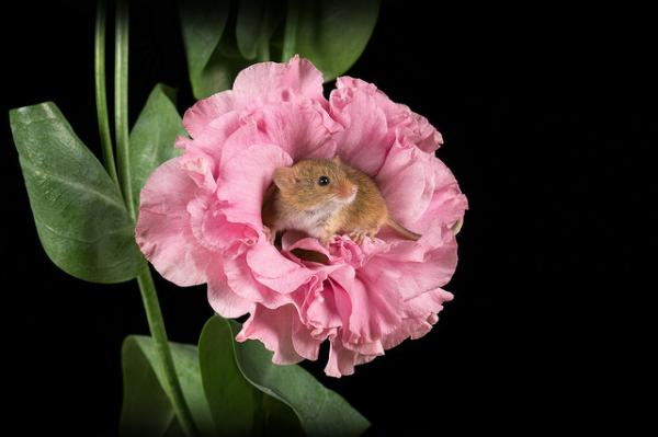 mouse in pink flower