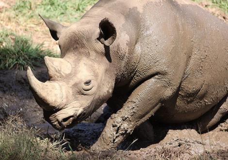 Black Rhinoceros: (Photo by Derek Keats/Creative Commons via Flickr)