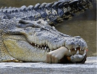 National Geograthic photo of Nile Crocodile - reportedly the hand was re-attached successfully to the human: National Geographic via flipkey.com