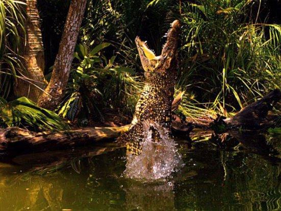 Cuban crocodiles are champion jumpers: image via kpbs.org