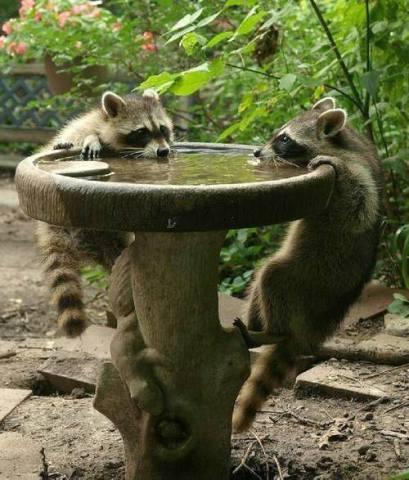 Drinking Raccooons (Image via Nature Gallery)