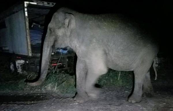 Escaped Elephant Tracked Down By New York State Troopers
