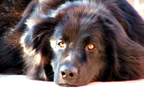 Purina's 2015 National Dog Show: A Newfoundland named Winslow took 1st place in the Working Group