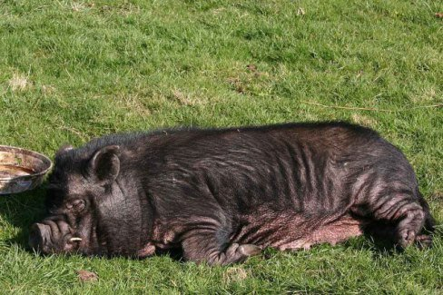 Sleeping Pig (Photo by Si Griffiths/Creative Commons via Wikimedia)