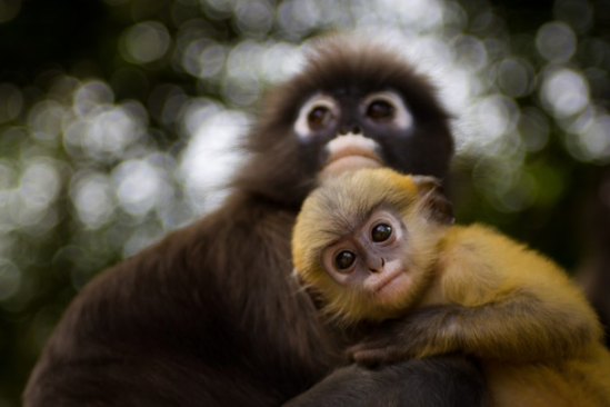 Dusky Langur with his mother: photo by Daniel Nahabedian via ngm.nationalgeographic.com