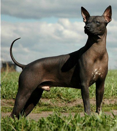 The Xoloitzcuintli: image via edoglovers.com