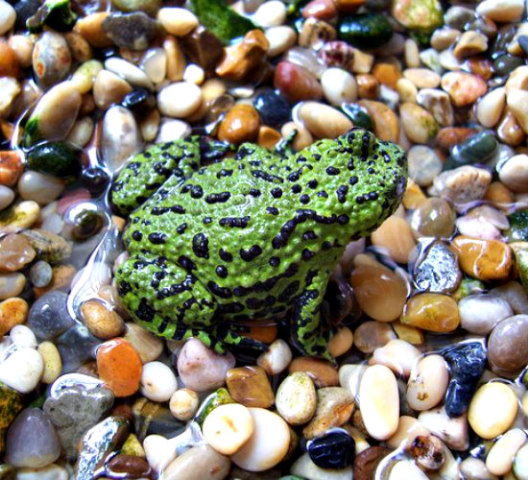 Low Maintenance Pets for Kids: Use larger rocks to cover aquatic gravel for frogs & toads