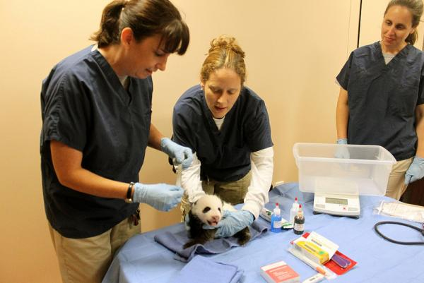 Panda Blood Found To Contain Powerful New Antibiotic