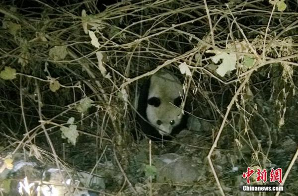 Giant Panda Eats Free-Range Goat, Curries No Favor With Farmers