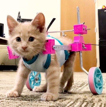 paralyzed kitten regains mobility with acupuncture