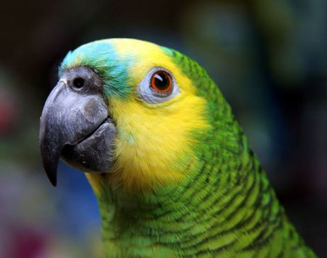 Blue-Fronted Amazon Parrot (Photo by Matthew Watts/Creative Commons via Wikimedia)