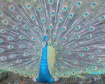 Peacock (Photo by Abuamju/Creative COmmons via Wikimedia)