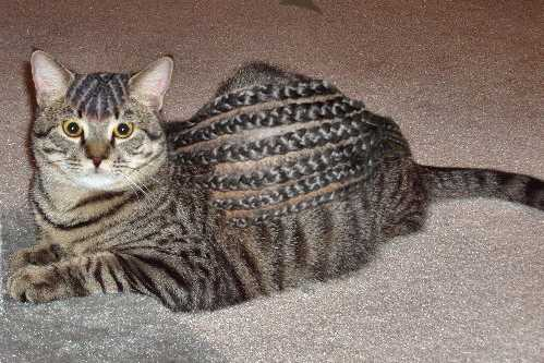 Cornrows cat